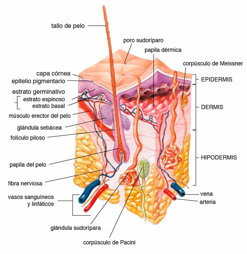 composicion de la piel